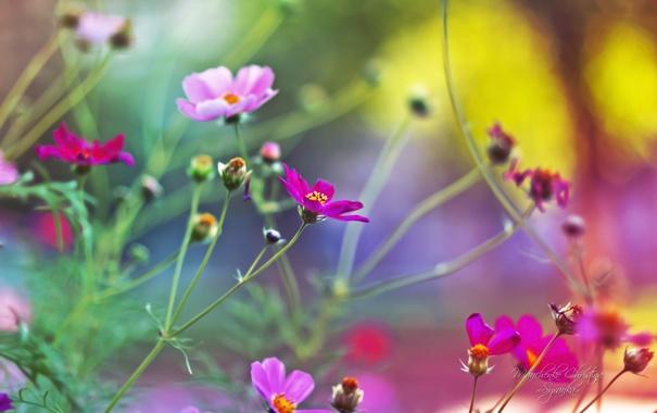 Фото обои розовый, нежный, размытость, космея, Christina Manchenko