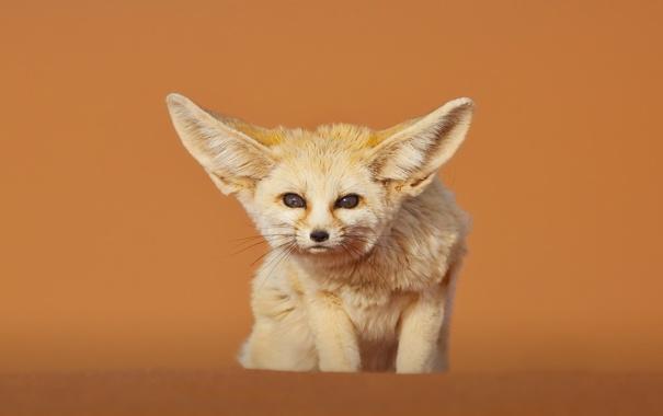 Фото обои пустыня, лисица, фенек, Марокко