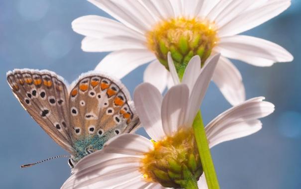 Фото обои лето, цветы, бабочка, ромашки, насекомое
