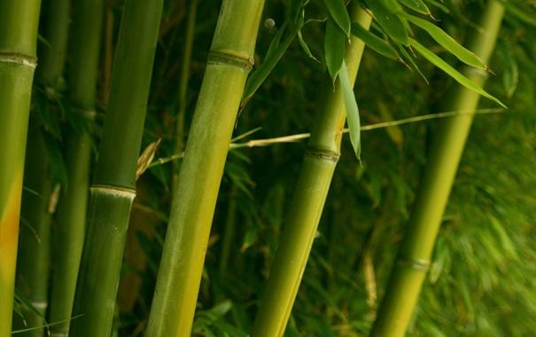 Фото обои зелень, ветви, бамбук