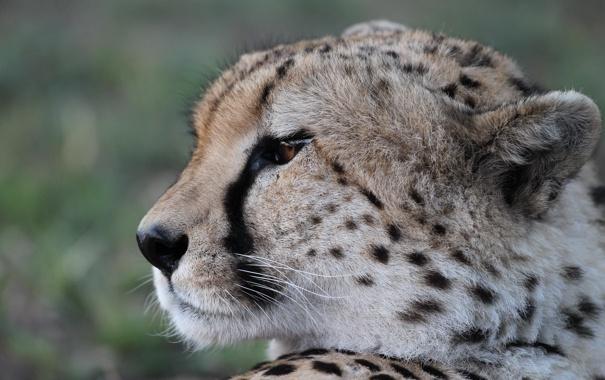 Фото обои кошка, взгляд, морда, гепард, профиль