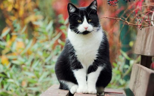 Фото обои осень, белая, сидит, Кошка, черная, лавочка, кусты