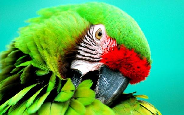 Фото обои птица, Попугай, Солдатский ара