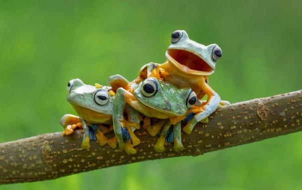 Фото обои ветка, лягушки, древесные