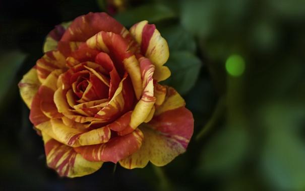 фото тигровая роза