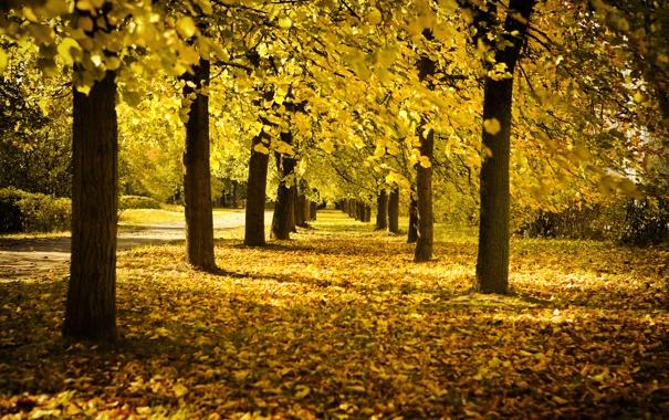 Фото обои осень, деревья, листва, аллея, жёлтая, солнечный день, время года