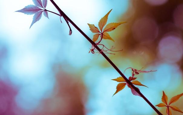 Фото обои листья, ветка, усики, дикий виноград