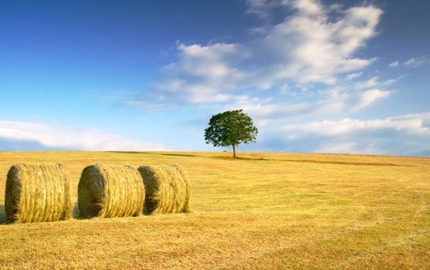 Фото обои пшеница, поле, осень, небо, трава, облака, желтый