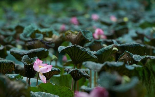 Фото обои пейзаж, природа, озеро, лилии