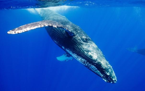 Фото обои ocean, blue, whale, mammal
