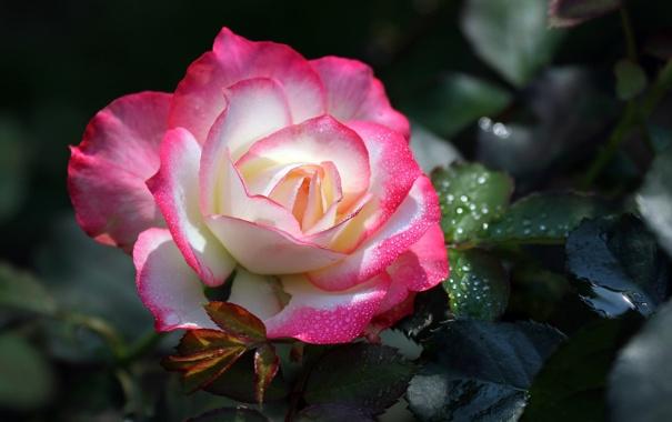 Фото обои роза, лепестки, бутон, цветение, бело-розовая