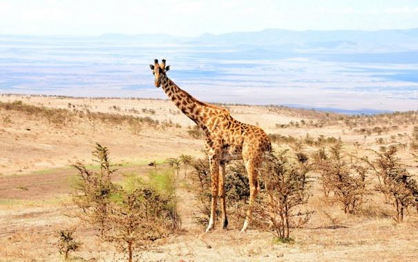Фото обои природа, Африка, жирафа