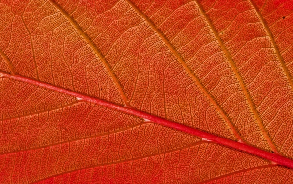 Фото обои autumn, pattern, leaf, Red