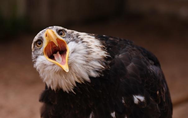 Фото обои кричит, птица, орел