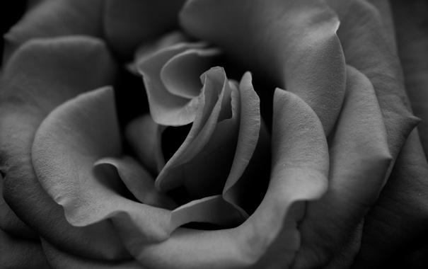 Фото обои макро, цветы, фото, обои, роза, розы