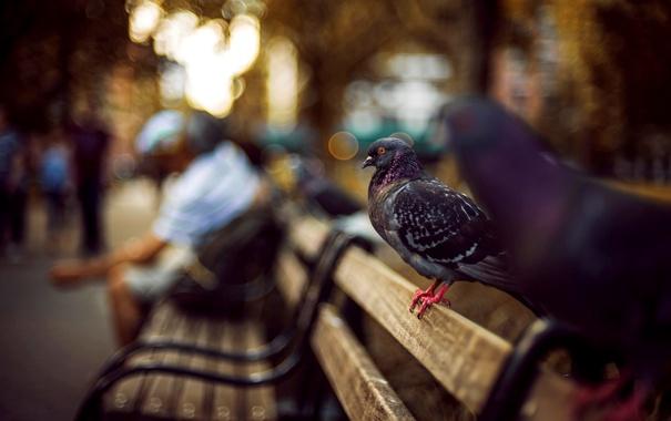 Фото обои голуби, серые, лавочка, птицы, улица, размытость, люди