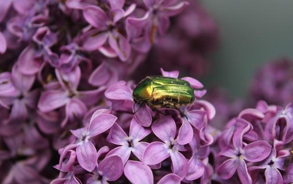 Фото обои макро, цветы, насекомые, природа, жук, растения, сирень