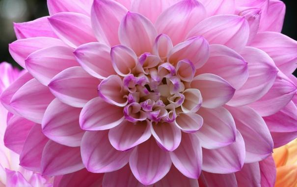 Фото обои лепестки, бутоны, цветение, petals, георгин, buds, blooms