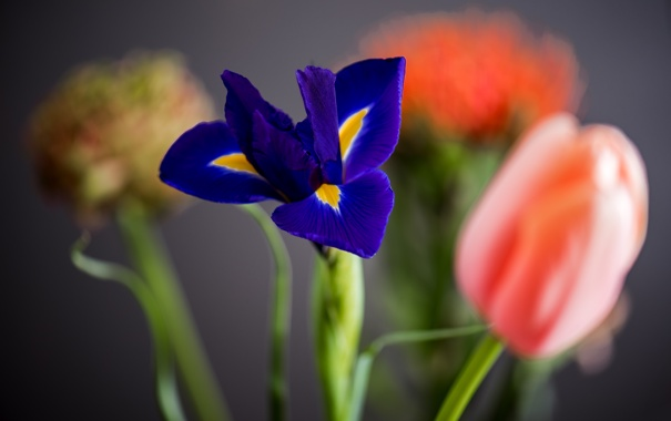 Фото обои цветок, лепестки, тюльпаны, ирис