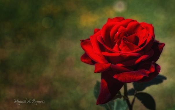 Фото обои цветок, красный, роза, лепестки, алый