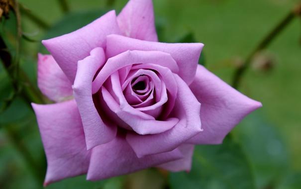 Фото обои цветок, макро, розовая, роза, сиреневая