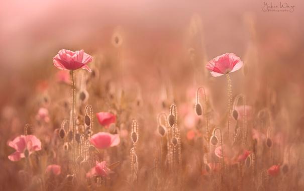 Фото обои поле, свет, цветы, маки, дымка