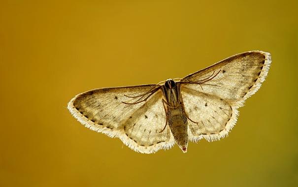 Фото обои brown, wings, полет, moth, моли, коричневый, flying