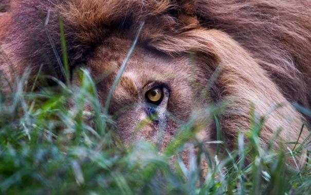 Фото обои трава, взгляд, глаз, лев
