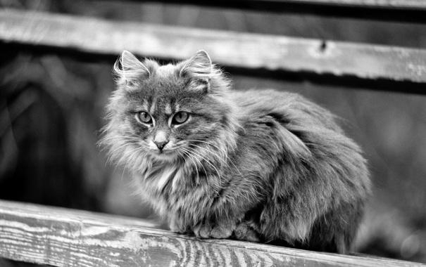 Фото обои взгляд, дерево, Кошка, чёрно-белый, пушистая