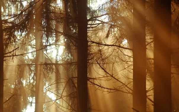 Фото обои лес, лучи, свет, дримучий