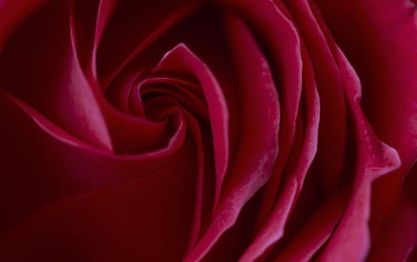 Фото обои роза, цветок, краски, лепестки, бутон