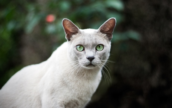 Фото обои кот, глаза, шерсть, кошка