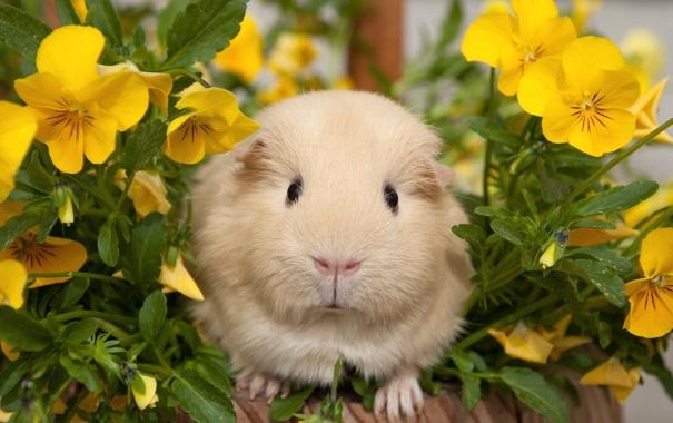 Фото обои цветы, морская свинка, анютины глазки
