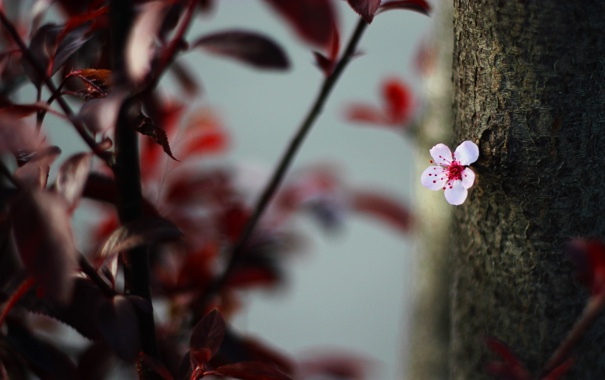 Фото обои цветок, листья, природа, вишня, дерево, цветение, flower