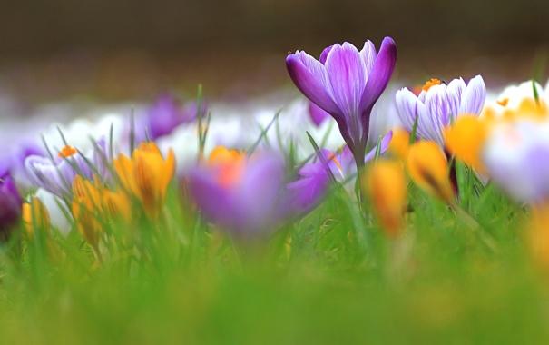 Фото обои трава, весна, лепестки, крокусы