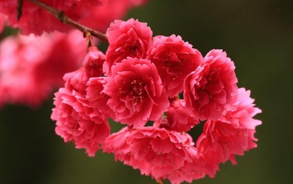 Фото обои лепестки, ветка, цветы