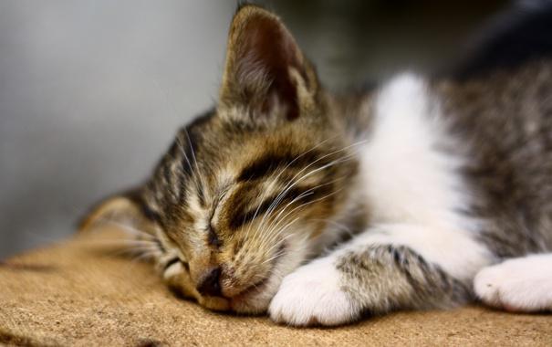 Фото обои кошка, фон, сон