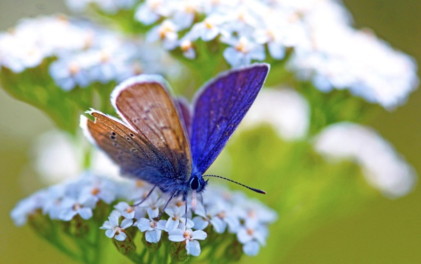 Фото обои белый, цветок, макро, зеленый, бабочка, растение, синяя