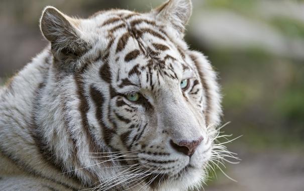 Фото обои кошка, взгляд, морда, тигр, белый тигр