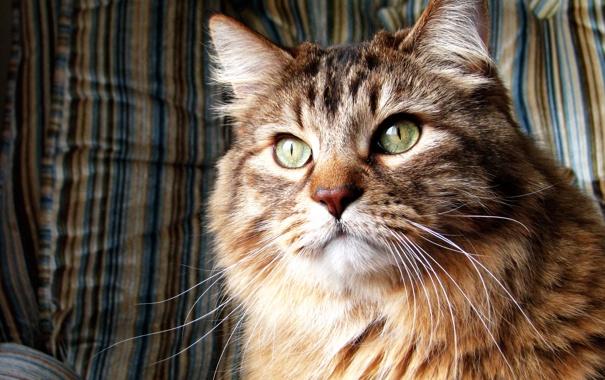 Фото обои кошка, Кот, норвежская лесная кошка