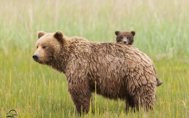 Фото обои трава, медведи, луг, медвежонок, медведица, материнство