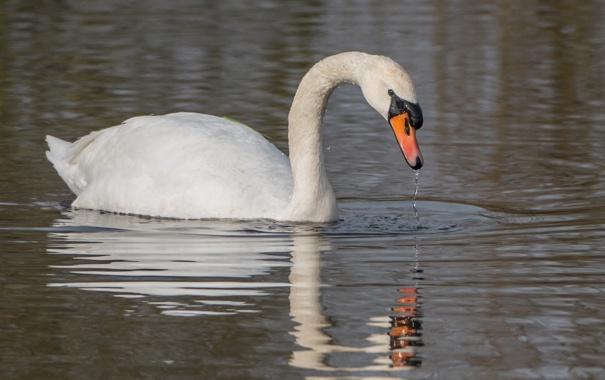 Фото обои отражение, рябь, грация, лебедь, водоем, шея