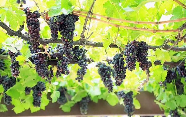 Фото обои листья, природа, зеленые, виноград, лоза, грозди