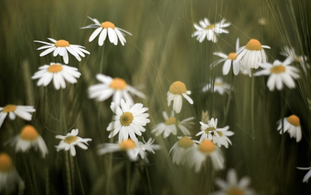 Фото обои цветы, фон, widescreen, обои, ромашки, красота, ромашка