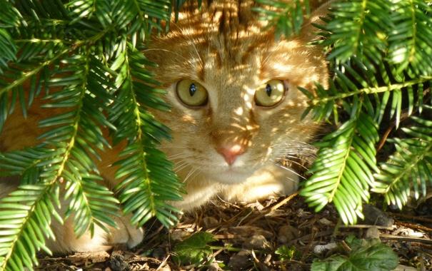 Фото обои кошка, кот, земля, рыжая, хвоя, прячется