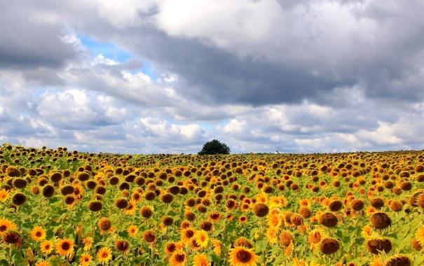 Фото обои пейзаж, подсолнухи, поле