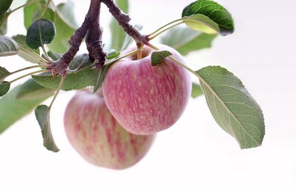 Фото обои макро, яблоки, ветка