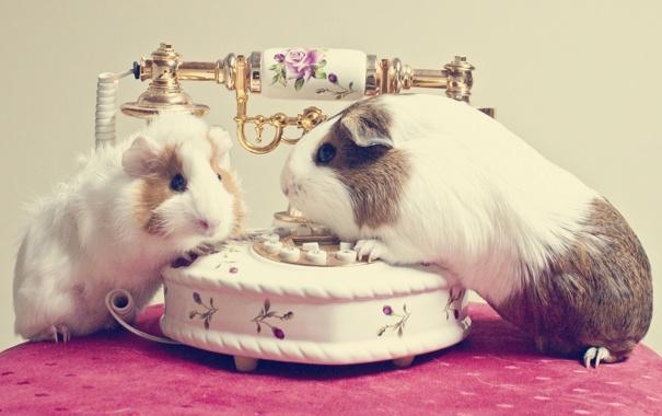 Фото обои телефон, грызуны, морские свинки
