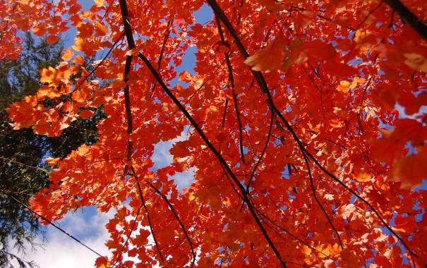 Фото обои осень, небо, листья, ветка, багрянец