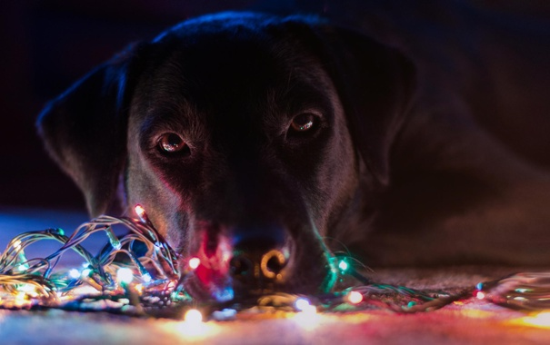 Фото обои праздник, собака, гирлянда, лампочки